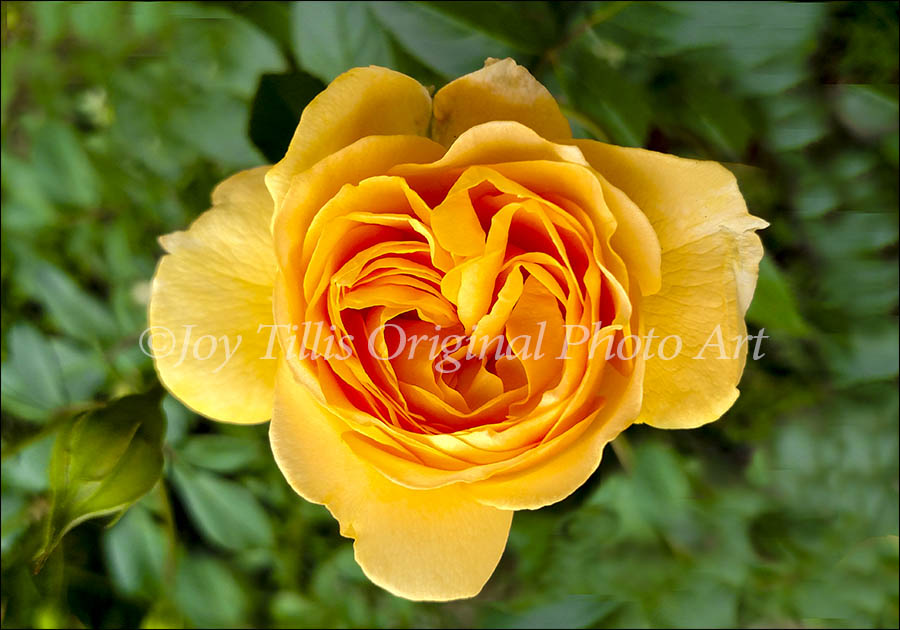 Yellow Rose Of Fidelity