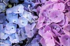Blue & Pink Hydrangeas