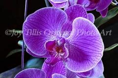 Orchid Fuscia