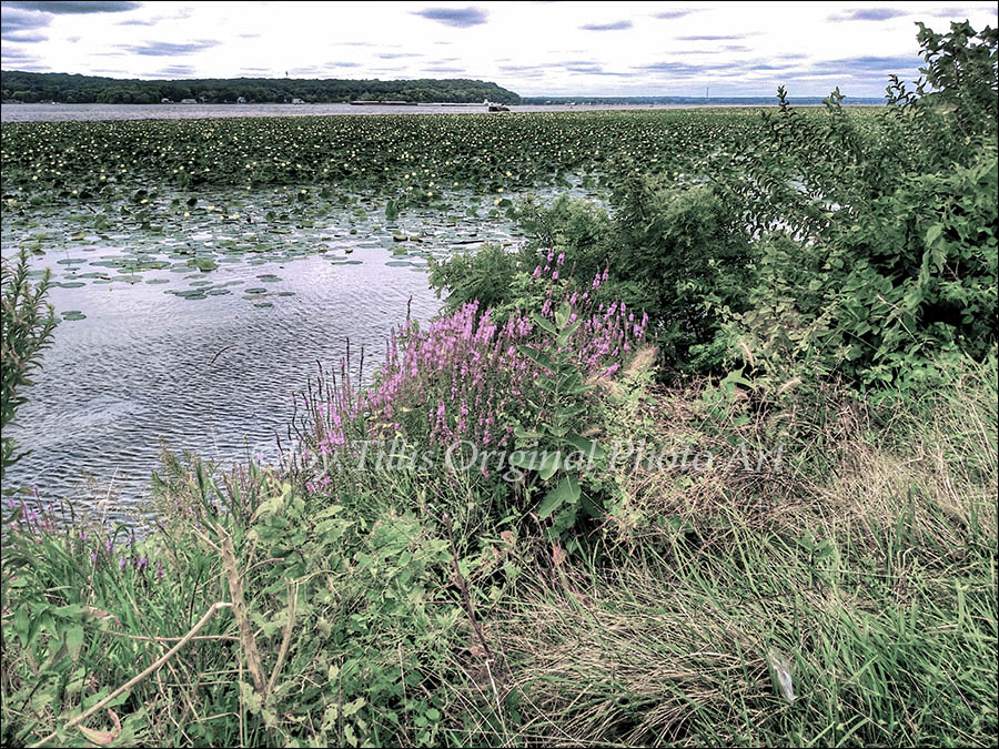 Lilypads Near Nauvoo
