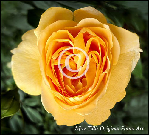 Yellow Rose Of Fidelity by Joy Tillis